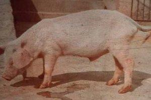 猪场死疙瘩猪怎么治?用这个土法子来帮你!