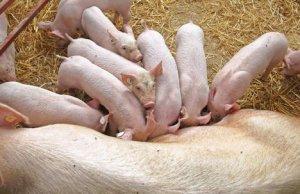 【技术】导致猪消瘦的几种疾病的临床症状与诊断