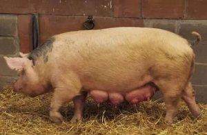 母猪在夏季配种产仔少,5个方法助养猪人提高猪场效益!