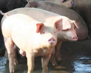 小散户养猪如何致富,不妨学学这些养猪小技巧!