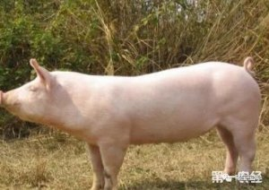 母猪胎衣的功效用处很大啊!