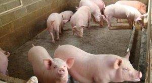 母猪发情了,但不让公猪配种,咋回事?