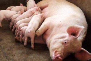 """母猪""""气血不足"""",产"""