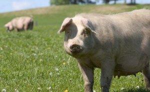 养猪大企亏损上亿,中小散户被关停,未来