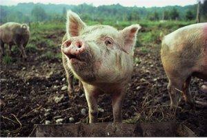 """养猪人知道母猪""""屁股不能圆,肋骨不能露""""是什么意思吗?"""
