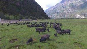 西藏林芝借助藏猪产业,带动农牧民脱贫增收