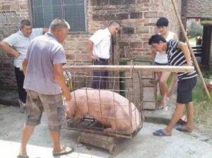 活该!猪贩子在秤砣上耍花招,终被刑拘!