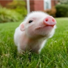 一颗活蹦乱跳的猪精需要多少细心呵护