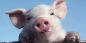 粗心司机途中丢猪,热心民警帮忙找回