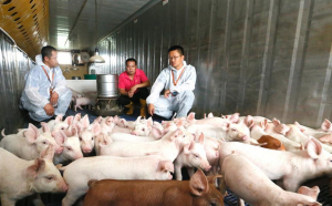 """山东即墨:""""技术特派员""""助力养猪 精准扶贫"""