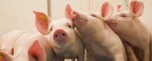 猪价上涨,新上涨周期到来吗?