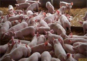 夏季想要猪群不应激?必须从这四点入手!