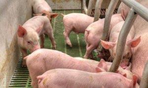 猪价涨跌互现,屠企开始压价收购,养殖户注意风险
