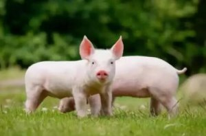 规模场放量、屠企压价,猪价涨势即将消失!