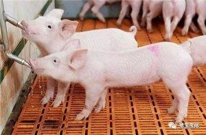 """夏季喂猪的""""五不要"""",养猪人你都知道吗?"""