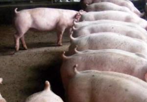 猪催肥最简单的方法,怎么给猪催肥