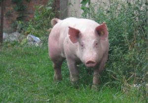 为什么国外都认为猪第
