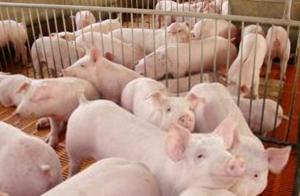 保育猪不好养?是你没