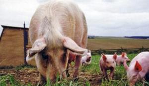 母猪产后48小时内,该做什么?