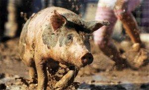 今天,带雨入伏!养猪