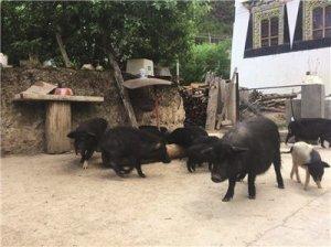 四川新增乡城藏猪等5个国家地标农产品