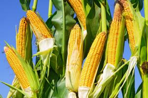 春玉米即将上市,关注