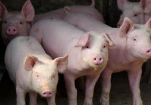 这5个养猪业的大数据,马云说值1个亿?
