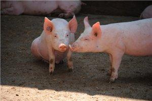 分析本月猪价上涨实质