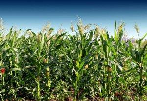 玉米拍卖继续高密度推进,下半年行情还能