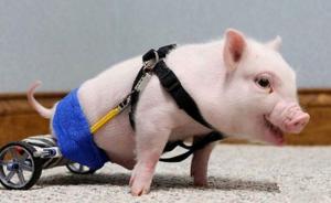 猪场高发病慢性猪瘟继发链球菌及弓形体的治疗?