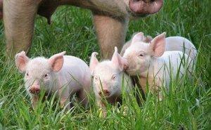 7月标猪带动猪价上扬,玉米、大豆价格利好