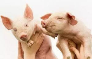 农村自繁自养100头猪要投多少钱?能赚到