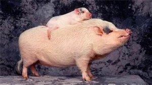 天康生物:猪用口蹄疫O/A二价苗预计年底获得生产批号