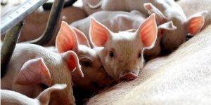如何做到母猪吃的刚刚