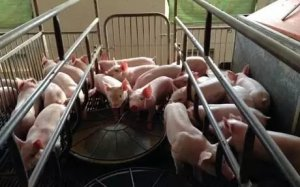 台湾弘辉集团携40万头育肥+3万头母猪生猪产业项目落户东北