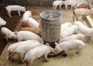 猪场的饲喂方式有哪些?优缺点分别是什么?