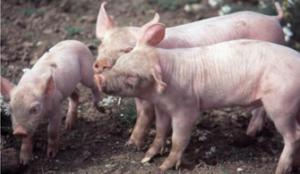 如何让你家仔猪赢在起跑线上?