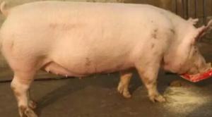 让80%的养猪人头痛的母猪问题,
