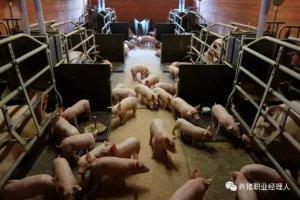 炎热夏季,如何才能避免断奶母猪一周内发情率大幅度下降?