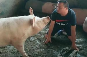 男子为了出名,在猪圈中学猪叫,网友:此人前途无量