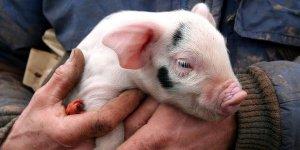 为什么说:给猪喂药1公斤/吨饲料,出力不讨好,花钱没效果!