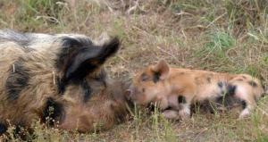 龙大肉食:积极布局西南地区猪肉市场