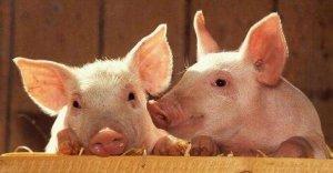 """规模生猪养殖场""""半年大考验"""",决定存留?"""