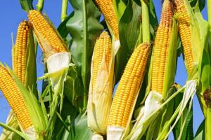 暴雨与高温来袭 今年玉米产量有点悬?