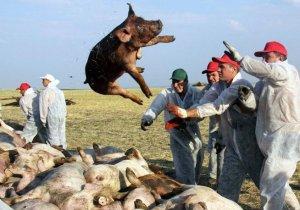 罗马尼亚非洲猪瘟疫情