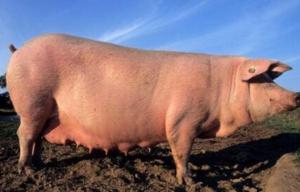 养猪怎样合理安排四阶段饲养和五阶段饲养,促进猪场利益!