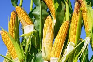 新玉米高开或成定局 盲目追高不可取!