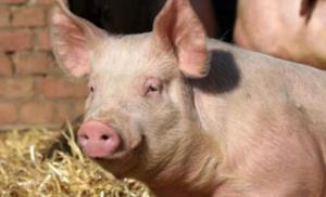 养猪就是养肠道!夏季优化母猪胃肠道的健康管理宝典请收下!