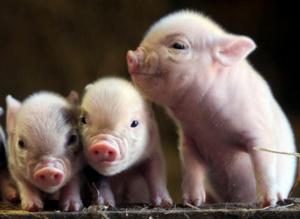 养猪场母猪营养不均衡,教槽喂得再好也没用!