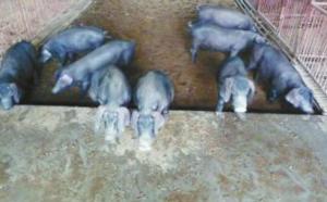 斥资20万引进种猪,生态化养殖养出品质猪!
